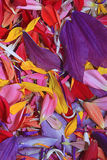 Multicolored flower petals. Natural texture of multicolored flower petals Royalty Free Stock Image