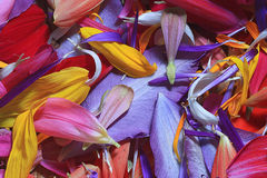 Multicolored flower petals Royalty Free Stock Photo