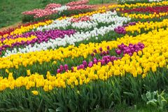 Multicolored flower  tulip field in Holland Stock Photography