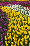 Multicolored flower  tulip field in Holland Royalty Free Stock Photography