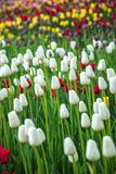 Multicolored flower  tulip field in Holland Royalty Free Stock Photos
