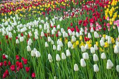 Multicolored flower  tulip field in Holland Royalty Free Stock Image