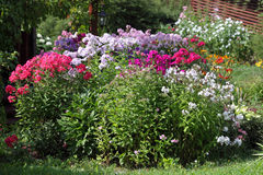 Multicolored flowerbed flowering phlox in the garden Stock Images
