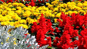 Multicolored flowers close up stock video footage