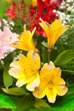Multicolored flowers freesia Royalty Free Stock Photo