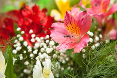 Multicolored flowers freesia Stock Image