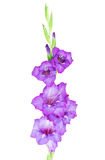 Multicolored flowers gladiolus Stock Image