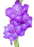 Multicolored flowers gladiolus Stock Photo