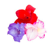 Multicolored flowers gladiolus Stock Images