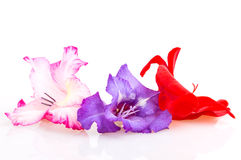 Multicolored flowers gladiolus Stock Photography