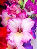 Multicolored flowers gladiolus Royalty Free Stock Image