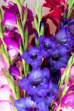 Multicolored flowers gladiolus Royalty Free Stock Photo