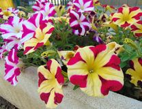 Free Multicolored Flowers Of Striped Petunia In The Garden, Italy.i Royalty Free Stock Photography - 147715997