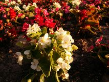 Multicolored flowers. Outdoor Royalty Free Stock Image