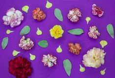 Multicolored flowers, petals and leafs of carnations on a purple background royalty free stock photo