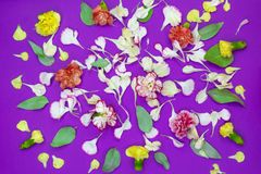 Multicolored flowers, petals and leafs of carnations on a purple background stock photo
