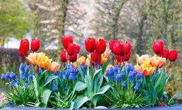 Multicolored flowers on spring flowerbed. Royalty Free Stock Photography