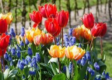 Multicolored flowers on spring flowerbed. Royalty Free Stock Image