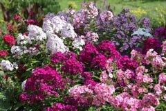 Multicolored flox verschillende verscheidenheden Royalty-vrije Stock Foto's
