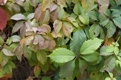 Multicolored foliage of Parthenocissus quinquefolia. In autumn Royalty Free Stock Images
