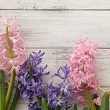 Multicolored fragrant hyacinth on square white background stock photos