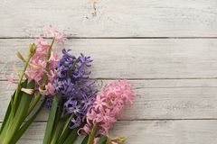 Multicolored fragrant hyacinth on white background stock photography