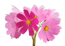 Multicolored Garden Cosmos Flowers on White Background Royalty Free Stock Images