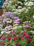 Multicolored Garden. Magenta pink white purple and blue nicotiana flower Royalty Free Stock Images