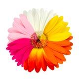 عالم الألوان multicolored-gerbera