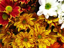 Multicolored Gerbera Daisies Stock Images