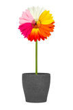 Multicolored gerbera flower Stock Photos