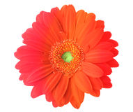Multicolored gerbera flower Stock Images
