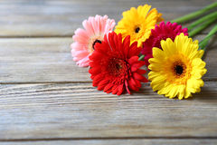 Multicolored gerbera on wooden background Royalty Free Stock Image