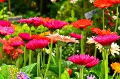 Multicolored gerberas Stock Photography