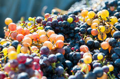 Multicolored grapes Royalty Free Stock Image