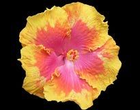Multicolored Hibiscus op Zwarte Achtergrond Royalty-vrije Stock Foto's