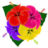 Multicolored hibiscuses Stock Photography