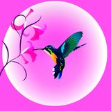 Multicolored humming bird. Humming bird drinking nectar from a pink orchid Stock Photography