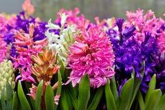 Multicolored hyacinten van de groep. Stock Afbeeldingen