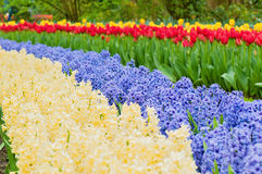 Multicolored hyacinth flowerbed spring flower park Stock Images