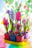 Multicolored hyacinth Royalty Free Stock Photography