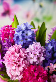 Multicolored hyacinths Royalty Free Stock Photography