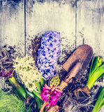 Multicolored hyacinths  flowers with roots , tubers and gardening trowel on light rustic wooden background Royalty Free Stock Images