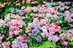 Multicolored hydrangea flowers blooming  in garden royalty free stock photo