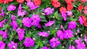 Multicolored Impatiens-Bloemen stock videobeelden