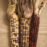 Multicolored Indian corn. stock image
