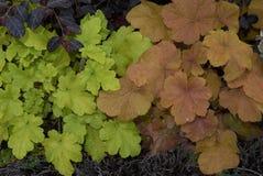 Multicolored installaties van foliageofheuchera royalty-vrije stock afbeelding