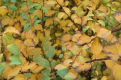 Multicolored leafage of germander meadowsweet in autumn. Multi-colored leafage of germander meadowsweet in autumn Stock Images