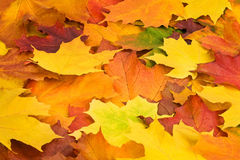 Multicolored leaves Royalty Free Stock Image