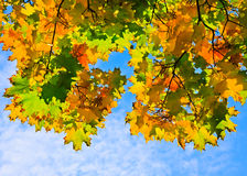 Multicolored leaves. Multicolored autumn maple leaves over blue sky Royalty Free Stock Images